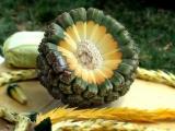 Hala (frutto della Palma a vite)