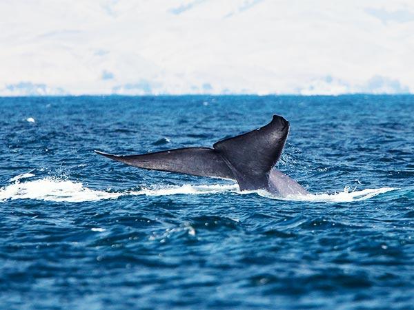 Blue Whale Tail (Coda di balenottera azzurra)