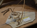 Rhamphorchynchus mount
