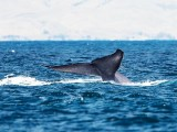 [#00001] Mammiferi: Balenottera azzurra