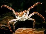 [#00001] Crostacei: Il granchio gigante rosso della Kamchatka