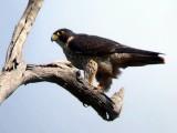 [#00001] Uccelli: Falco pellegrino